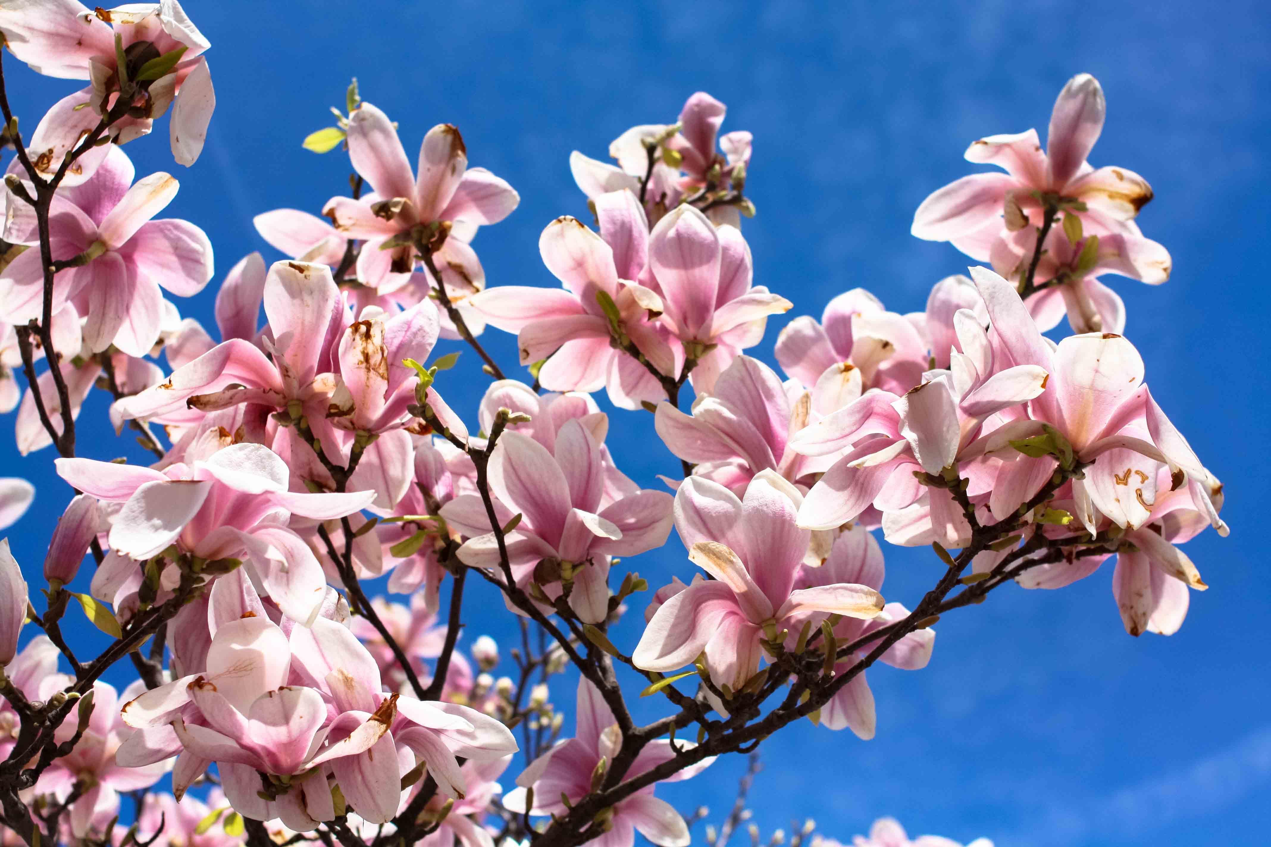Magnolia Trees In Paris Rebecca Plotnick Photography