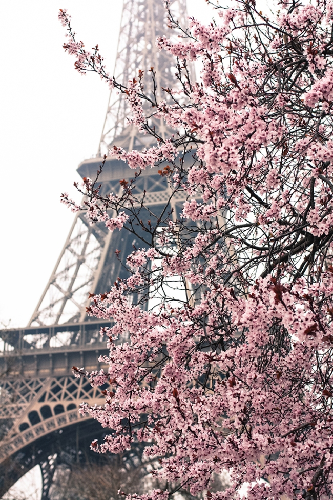 cherry blossoms paris